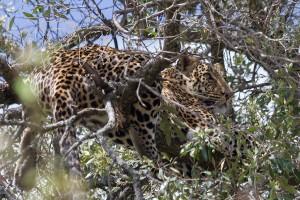 maasai mara leopard 16102011 (21)